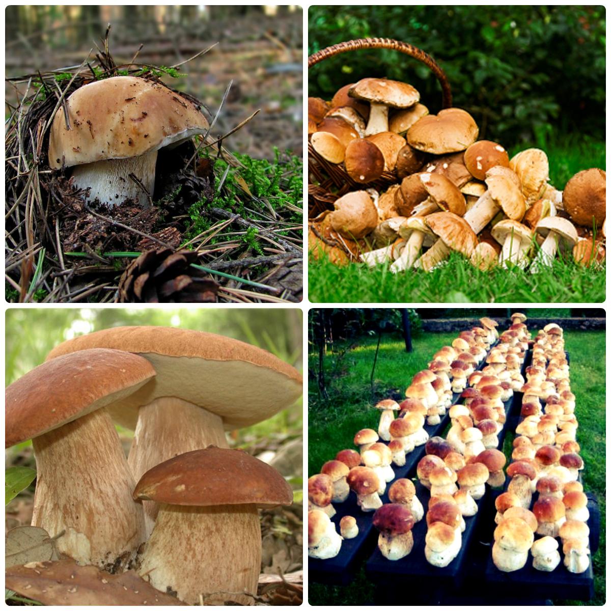 Збирання грибів і ягід gryby 20kolazh